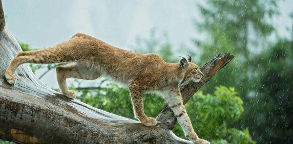 Luchs im Wildpark Assling